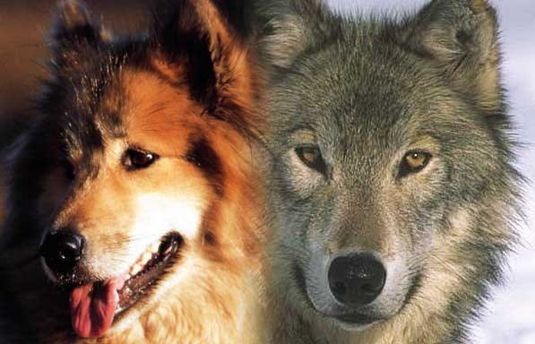 Je vous souhaite une bonne Année 2019 ..  Pourquoi le chien est-il domestique et le loup sauvage ???