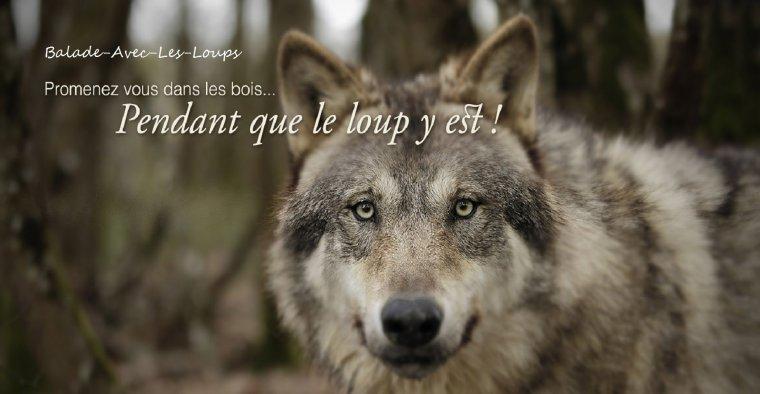 Le retour du loup : ce que l'on ne nous dit pas…   Comment limiter la perte de poils de votre chien ???...