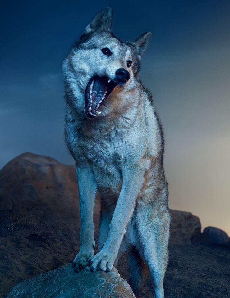 Le loup, un allié contre la maladie de Lyme ...