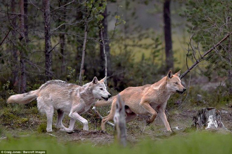 """Des dizaines de loups, espèce protégée, sont abattus """"légalement"""" chaque année en France..."""