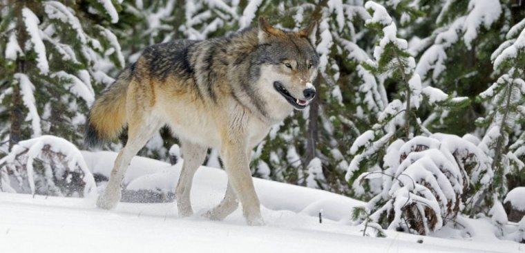 Il n'y a pas trois espèces de loup en Amérique du nord mais une seule...