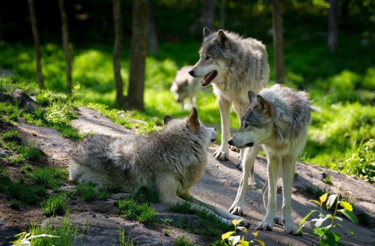 Le loup de retour sur les versants français du massif du Jura...
