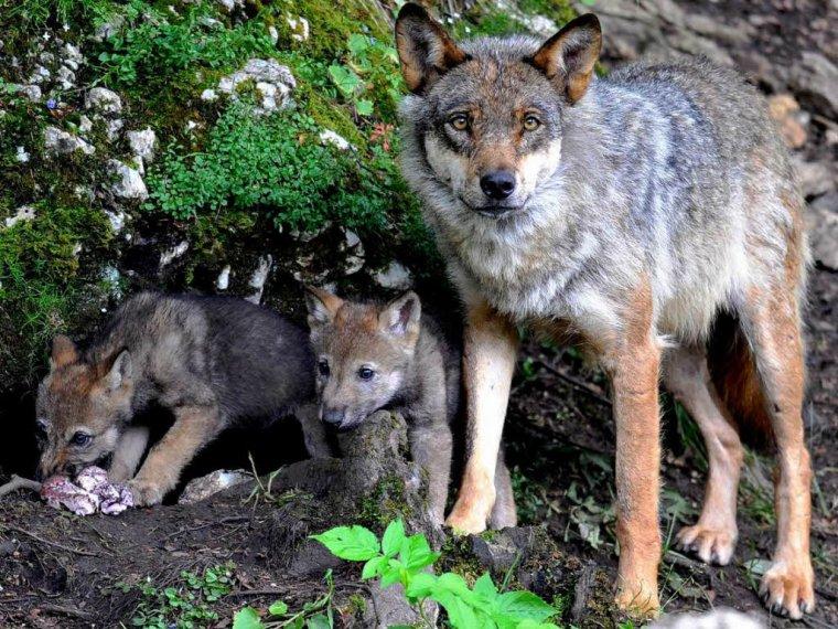 """Une tuerie exponentielle de loups autorisée en France ... :'(   """" """"L'humain est le plus grand prédateur que la terre ait connu. L'animal tue pour se nourrir, l'humain fait le mal et tue par convictions."""" """""""