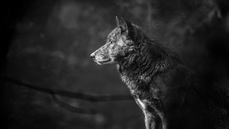 Un loup aperçu en Vendée, une première depuis plus d'un siècle...