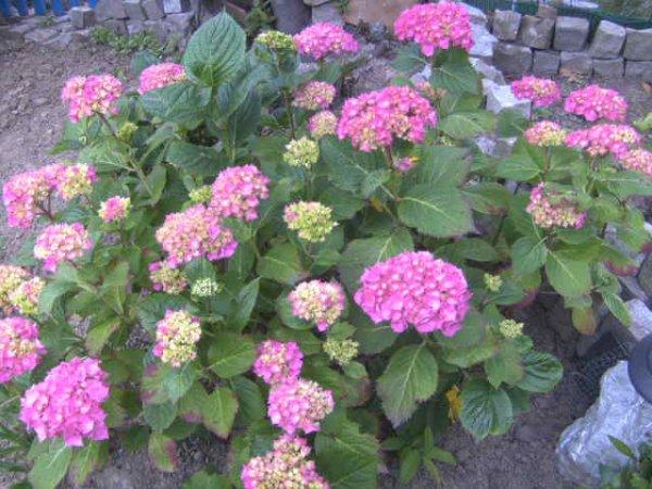 <<<les fleurs de mon jardin>>>