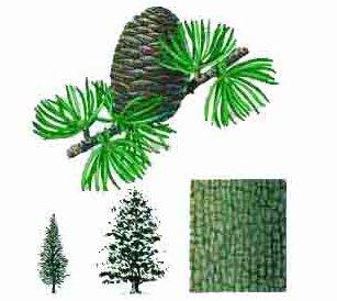 Les herbes sacrés: Cèdre: (Thuya Occidentales) symbolise l'équilibre. Il est un excellent purificateur qui prédispose à la prière, au calme et à la sérénité. Il attire les Energies bénéfiques, sert à soigner les infections très variées et éloigne les mauvais-reves.