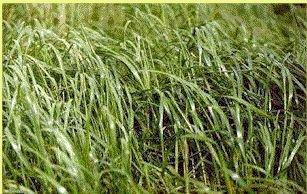 """Foin d'odeur: (Hierocloe odorata): Est appelé aussi les """"Cheveux de la terre mère"""", c'est une plante féminine. Elle attire les energies propices à l'harmonie, elle invite les énergies bénéfiques et favorise les ambiances agérables."""