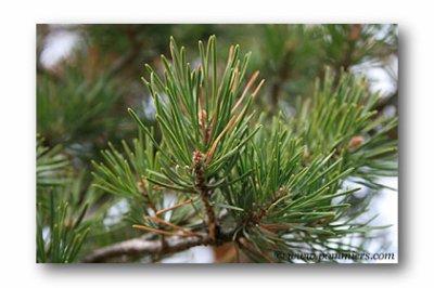 Pin: Utilisé pour soigner diverses affections liées à l'élément de l'air (laryngites etc). Elle stimule la joie, l'enthousiasme.
