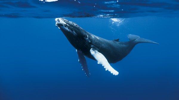 La Baleine à Bosse: Taille: Entre 14,5 et 15,5 m     Poids: Entre 25 et 30 T      Longévité: 50 ans