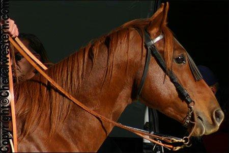 les 4 races de chevaux western qui sont le plus utilisés: Quarter Horses, Appaloosa, Paint Horse et Mustang