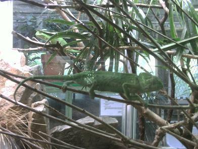 Ménagerie du Jardin des Plantes - caméléon