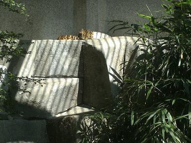 Ménagerie du Jardin des Plantes - fauve