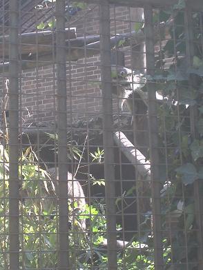 Ménagerie du Jardin des Plantes - raton laveur