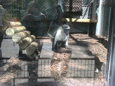 Ménagerie du Jardin des Plantes - reflet homme/singe