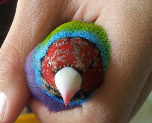 Blocage de mue chez ce TR PV oiseau à suivre bonne structure tête ronde