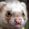 LeassyFerret