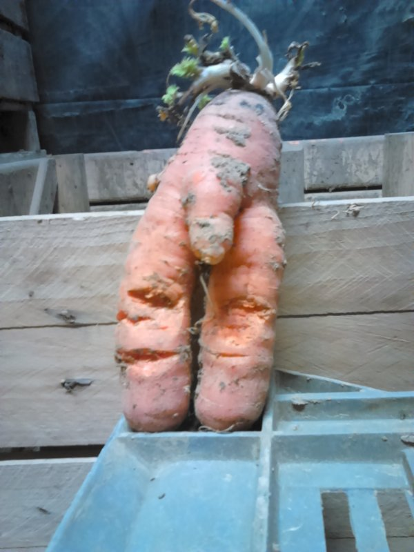 Pourquoi Monsieur carotte serait pas aussi bon qu'une belle carotte toute droite ?