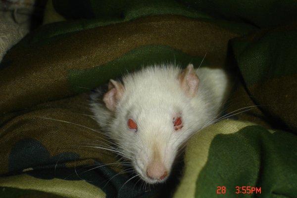 Rat numéro 1; Bianca l'Albinos!