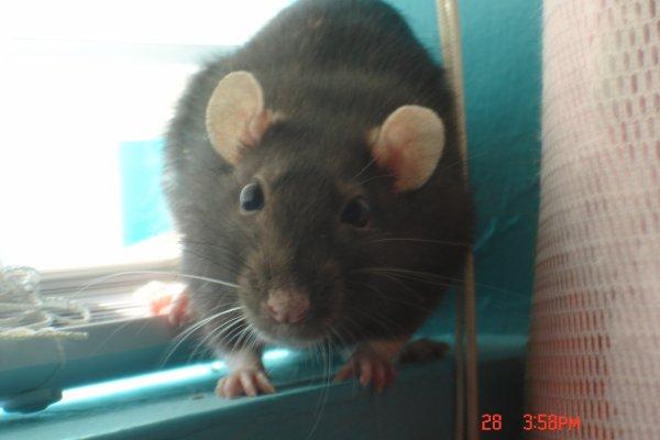 Rat numéro 2; Mia la Majordome!
