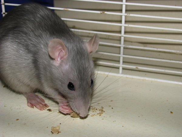 Rat numéro 4; Argentine aux poils Argentés!