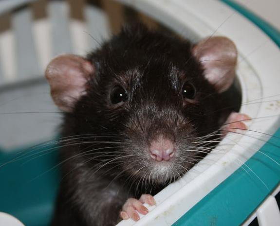Rat numéro 6; Noisette la Dumbo au pelage de Mia!