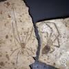 La plus grande araignée fossile a trouvé un mâle... et son nom