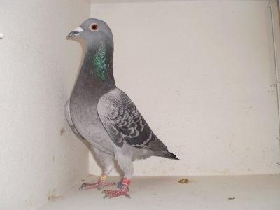 4ème pigeon