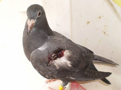 Ce matin encore un jeune de pigeon attaqué par un rapace !!