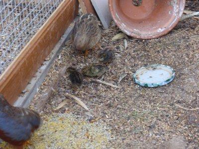 Les cailles de chine blog de mavoliere83 - Comment cuisiner les cailles ...