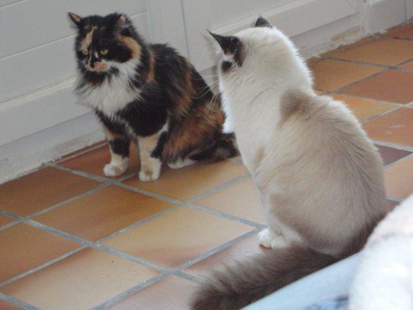 Troisieme Femelle Kalie Croisee Main Coon Persan Angora Mon Chat Les Femelles Les Chatons A La Vente