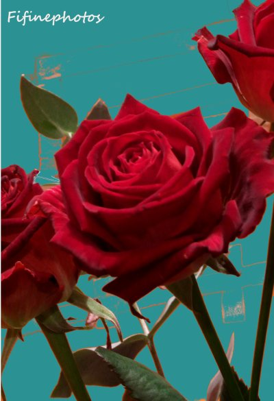 Les roses sont rouge, comme le rouge est passion
