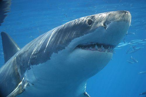 shark-beginning