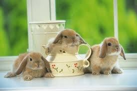 Les lapin ...