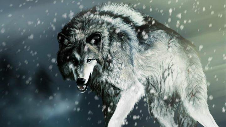 Comme un loup..
