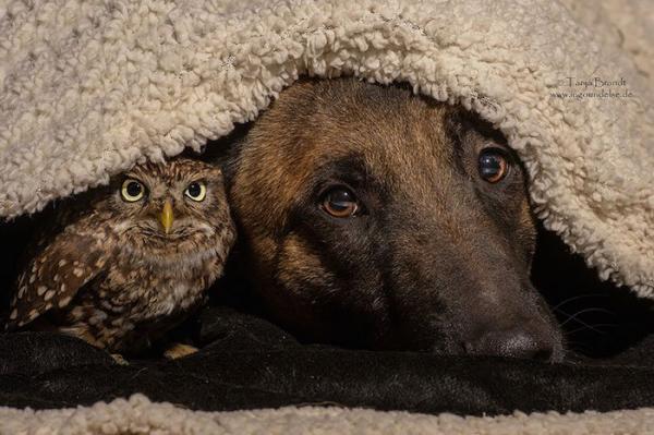 Le chien est le meilleur ami... du hibou !