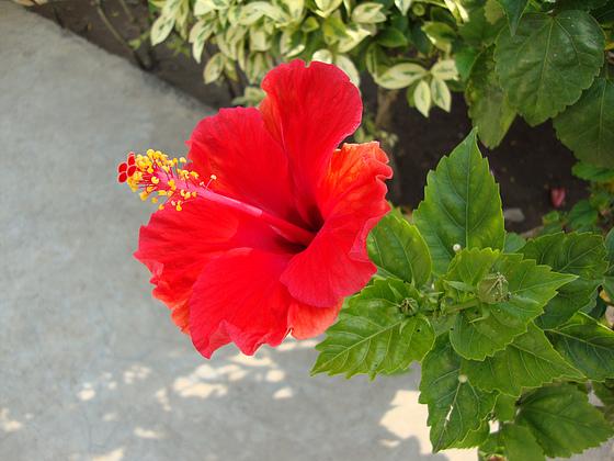fleurs de cote d ivoire - blog de danielbaoule