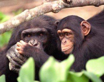 parc  national  de  tai  :  les   chimpanzes