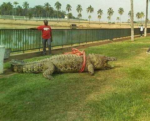 COMMANDANT l'un des plus grands crocodile du lac de Felix houphouet boigny est Mort .il a été sorti de leau par une grue.