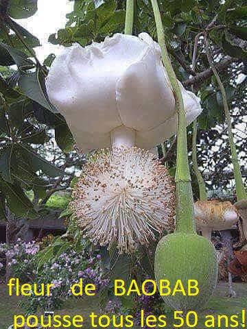 Boabab fécondation par les chauve souris