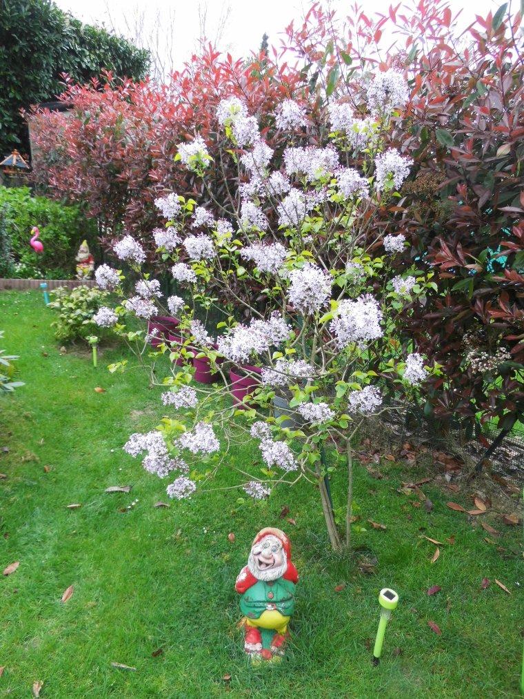 voila mon lilas premiere annee de fleuraison