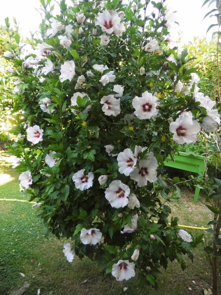 l hibiscus en pleine floraison