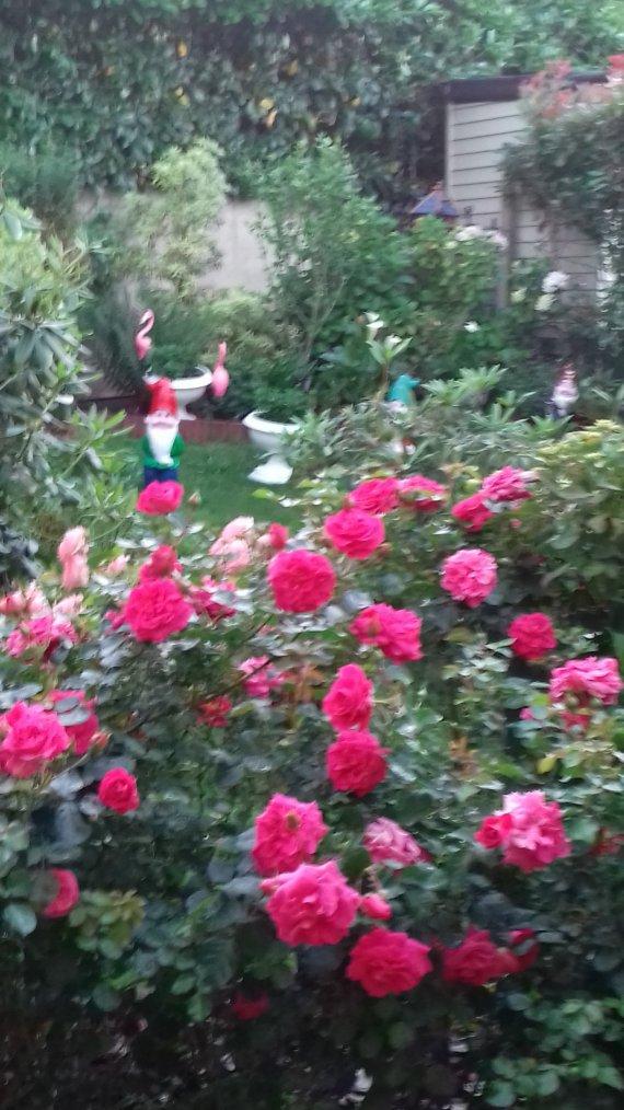 voila les roses sur ma terrasse