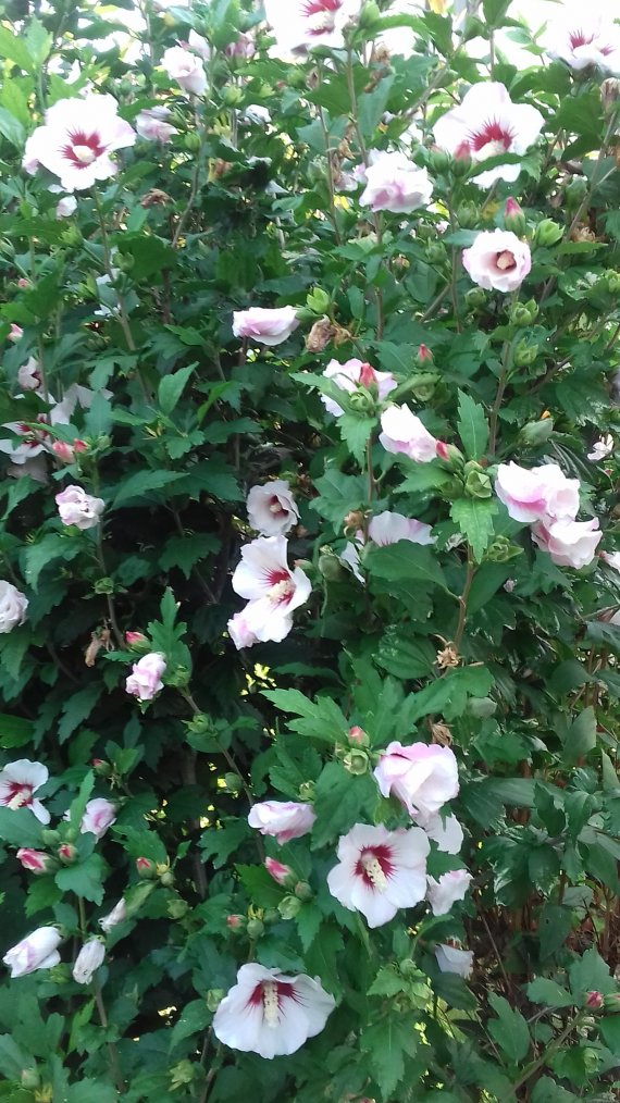 voila mes hibiscus en pleine floraison