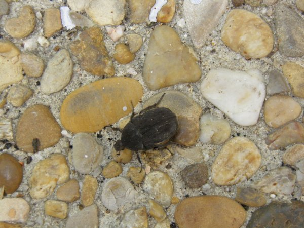 Un petit scarabée qui se promener