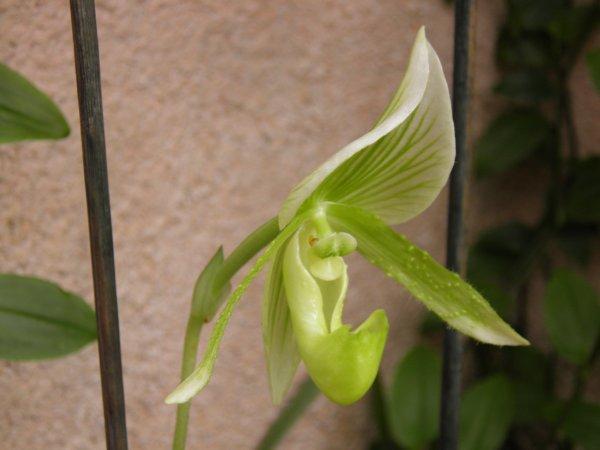 L'éclosion de l'Orchidée
