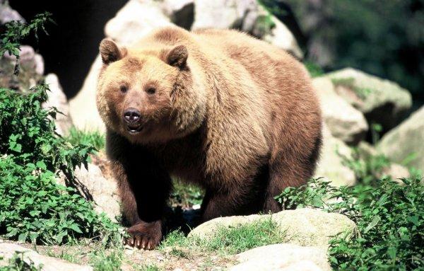 Ours brun des Pyrénées