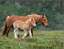la maman et son poulain