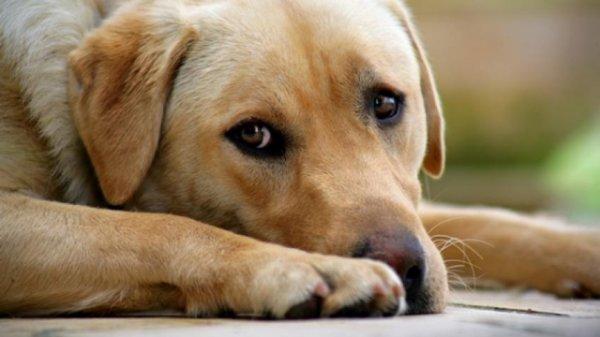Des chiens détecteraient le cancer de la prostate grâce à leur odorat