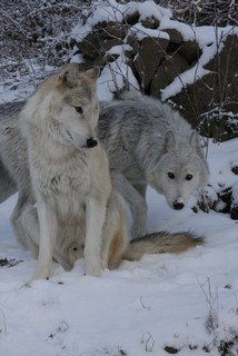 mes loups