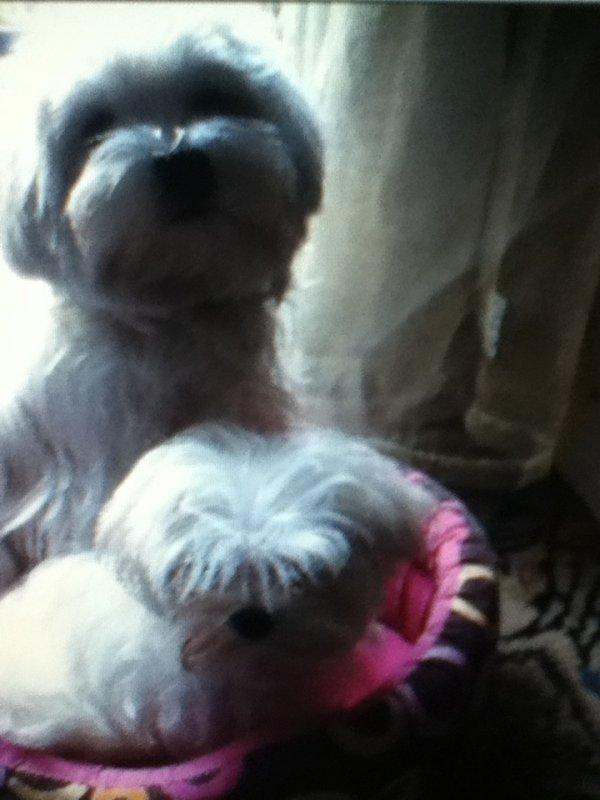 Mes deux chien angie et gerny du clos des trois riviere tres bonne elevage